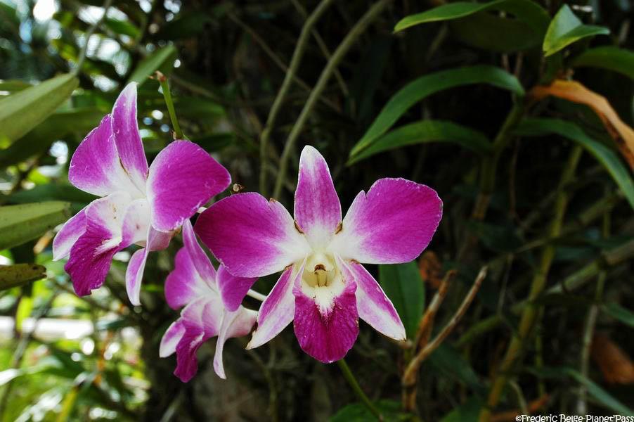 orchidee thailande